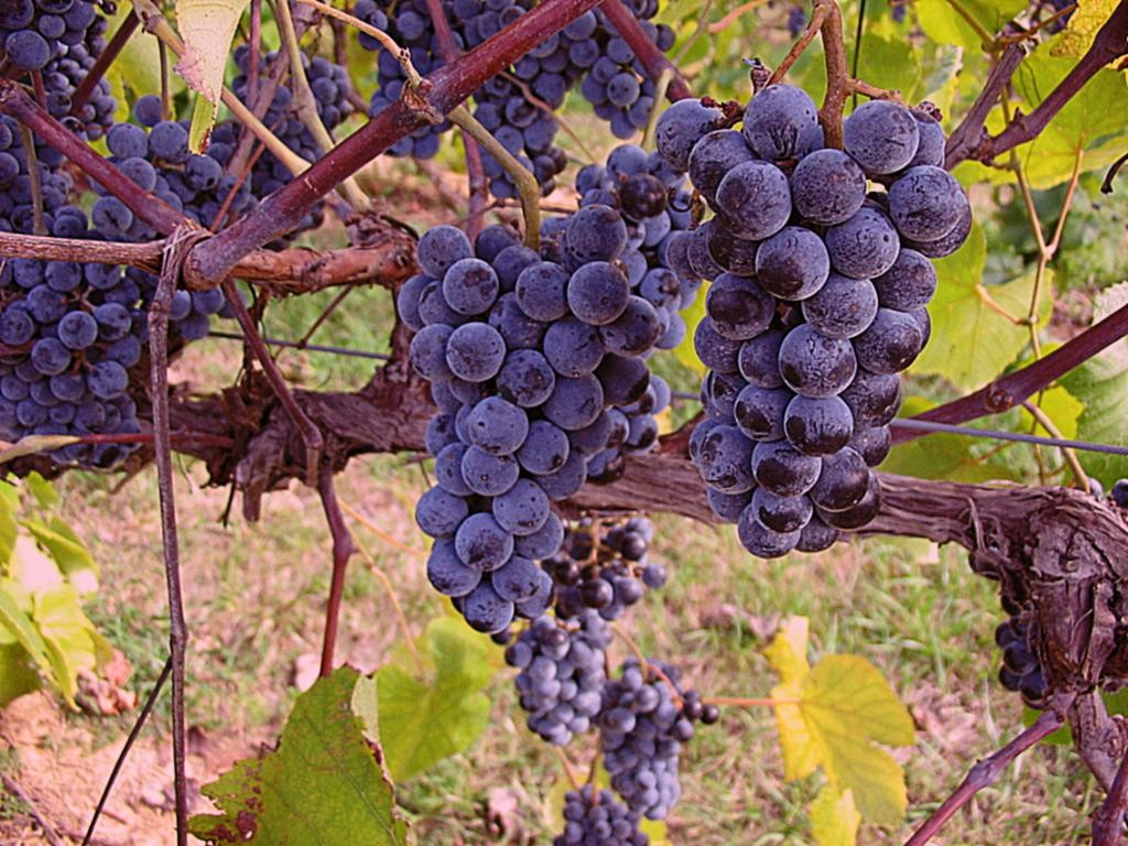 San Benito County Wineries Pinot Noir Grapes